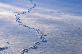 Rastos de animais na neve. Animal tracks on the snow.