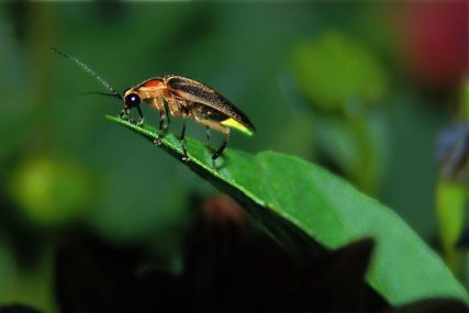 firefly-on-leaf-653x0_q80_crop-smart